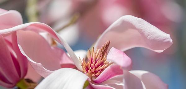 Magnolias by Danny1970