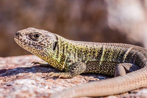 sand lizard (Lacerta agilis) by aldasack1957