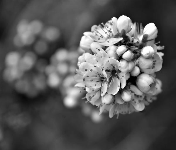 Blossom - B/W by Madoldie