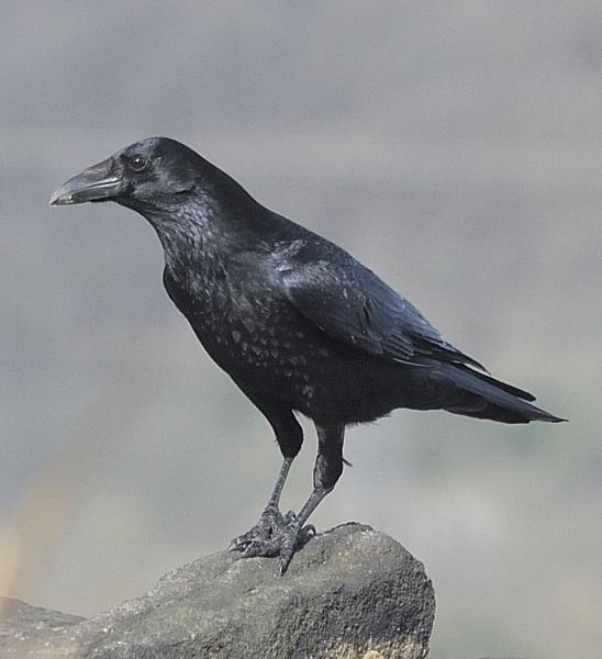 Raven 7 by robertsnikon