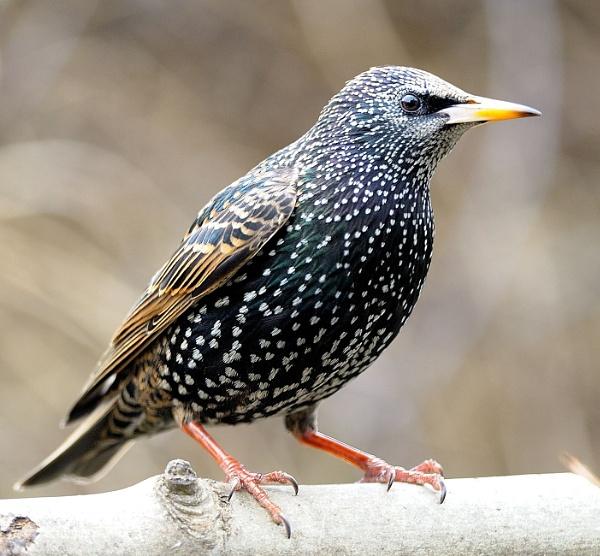 Starling 3 by robertsnikon