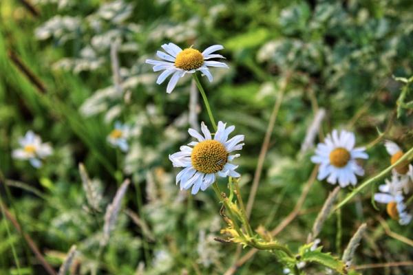Daisy daisy by KrazyKA