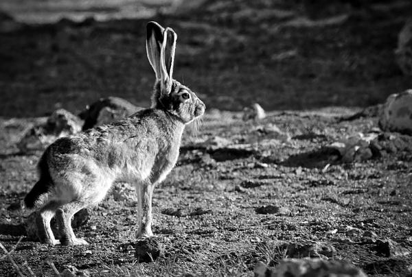 Jack Rabbit by Janetdinah