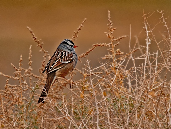 White-crowned Sparrow by dven