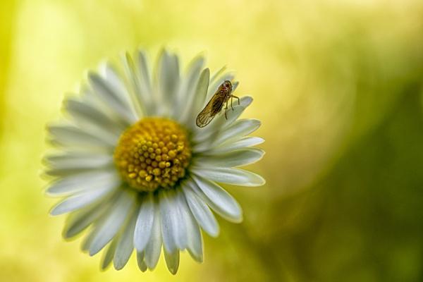 Oxeye daisy by Leikon