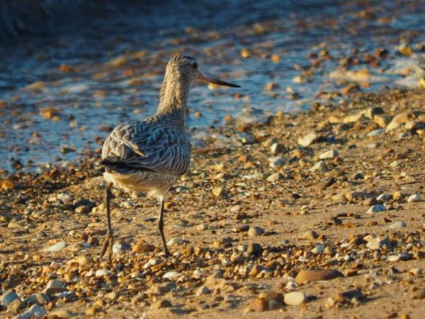 Marsh sandpiper or Greenshank ? by GwB