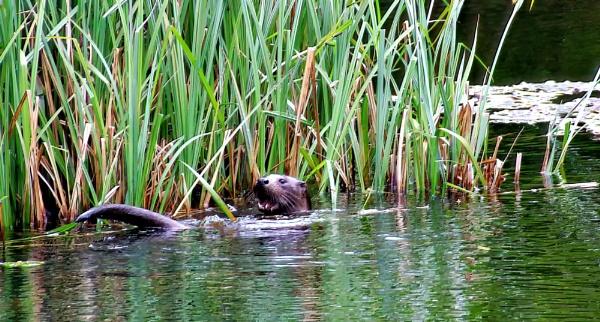 Otter in the garden by Ffynnoncadno