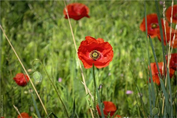 Wild Poppy by blrphotos