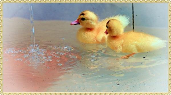 Baby ducks by IamDora