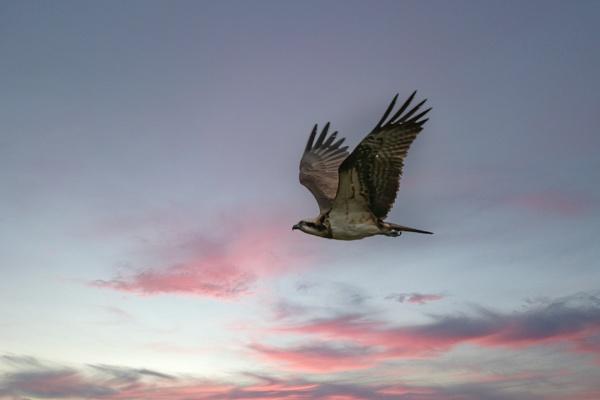 Osprey by STUARTHILL758