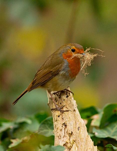 Nesting Robin by chensuriashi