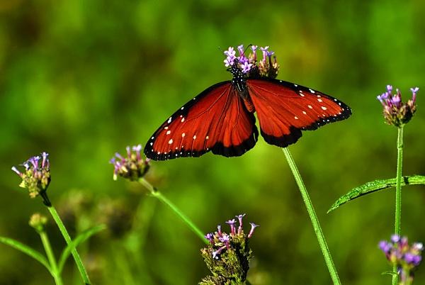 Monarch Butterfly by Buffalo_Tom