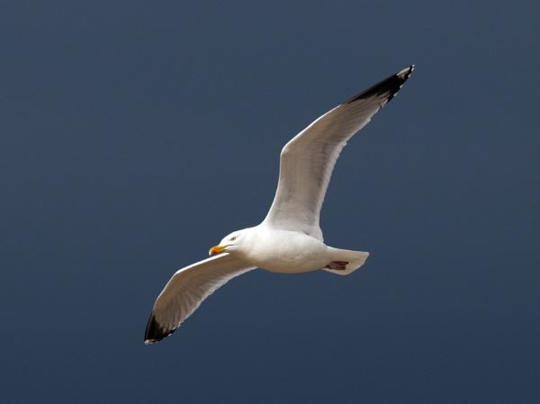 Herring gull by oldgreyheron