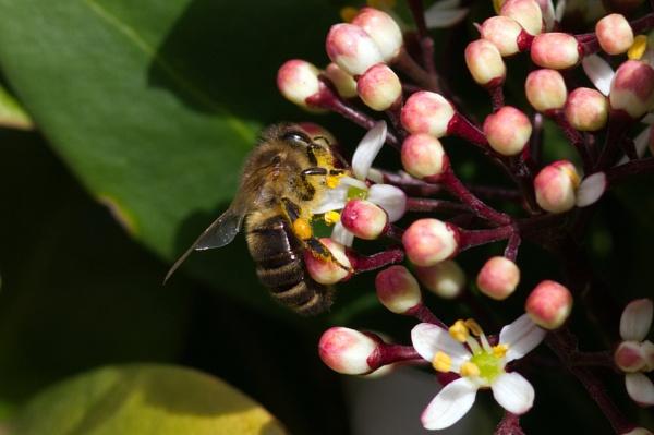 Honey bee on skimmia by oldgreyheron