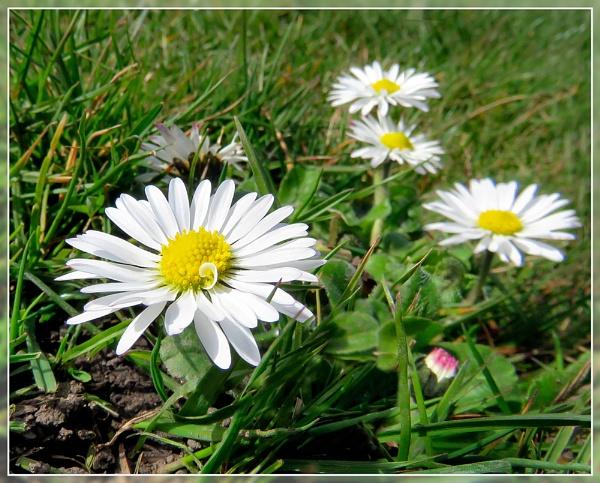 "\""Daisy Daisy\"" by Sylviwhalley"