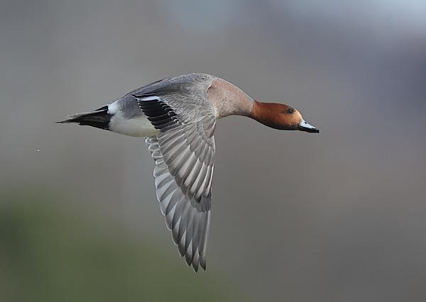 Wigeon in flight by NeilSchofield