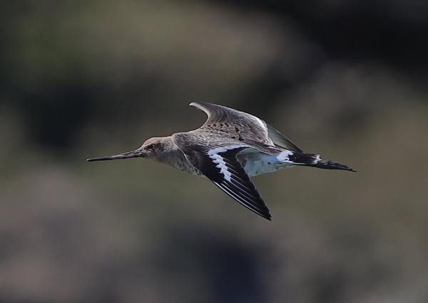 Black Tailed Godwit by NeilSchofield