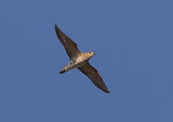 Grey Plovers in Flight