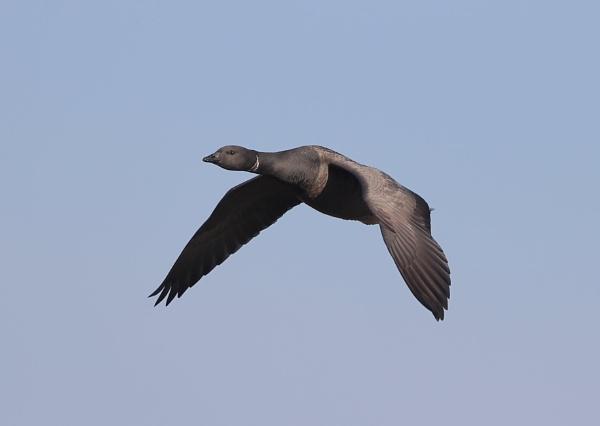 Brent Goose in Flight by NeilSchofield