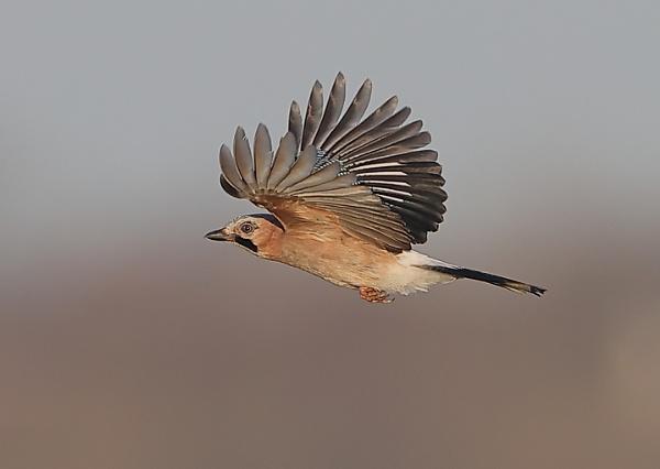 Jay in Flight by NeilSchofield