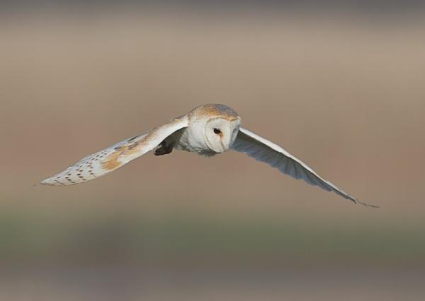 Barn Owl in Flight by NeilSchofield