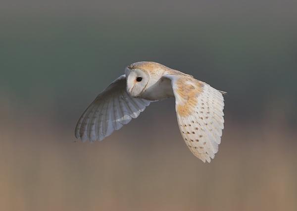 Barn Owl Hunting by NeilSchofield