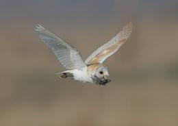 Barn Owl With Kill