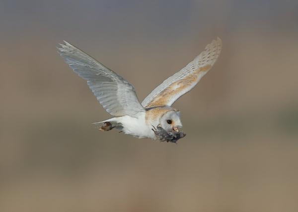 Barn Owl With Kill by NeilSchofield