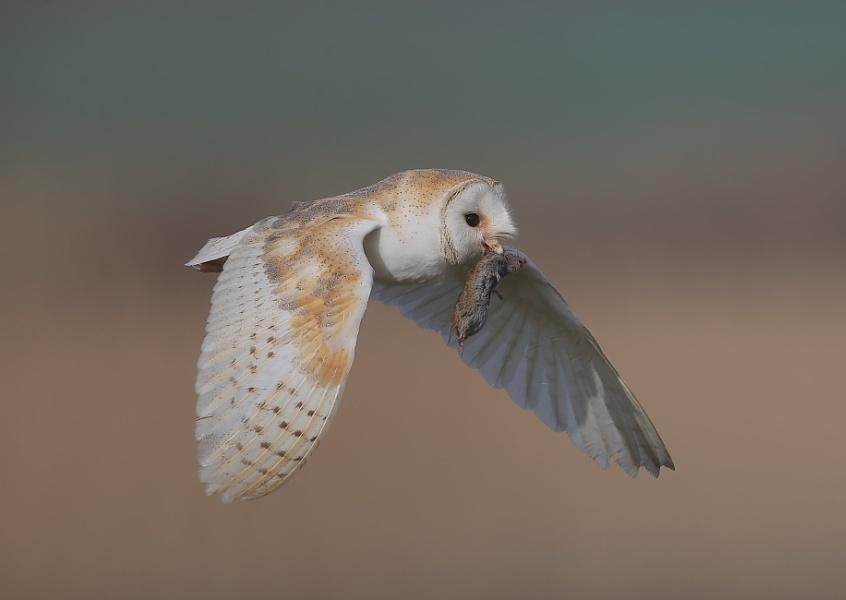 Barn Owl in Flight With Prey