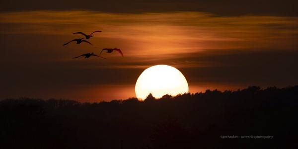 Swans by SurreyHillsMan