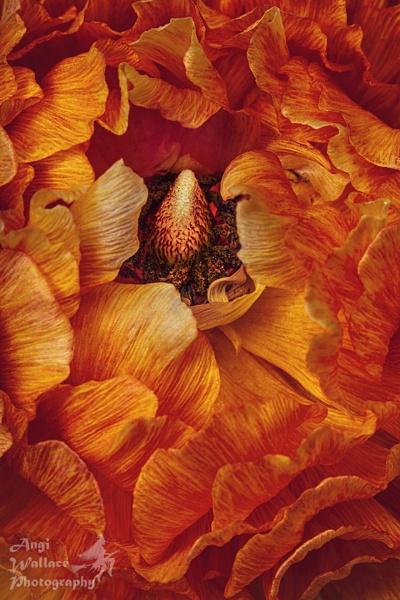 Orange ranunculus by Angi_Wallace