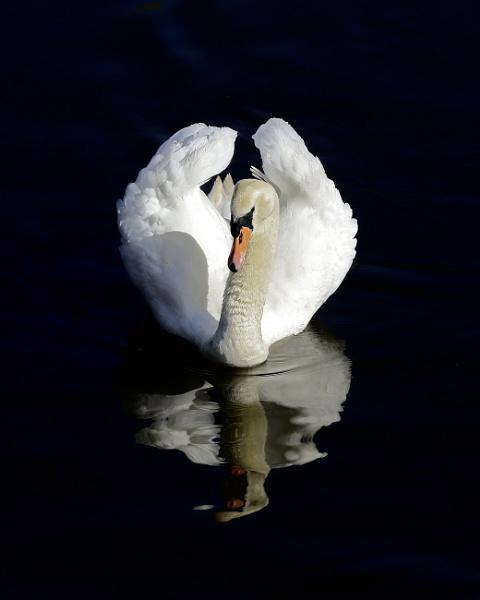 Swan by jonnydart
