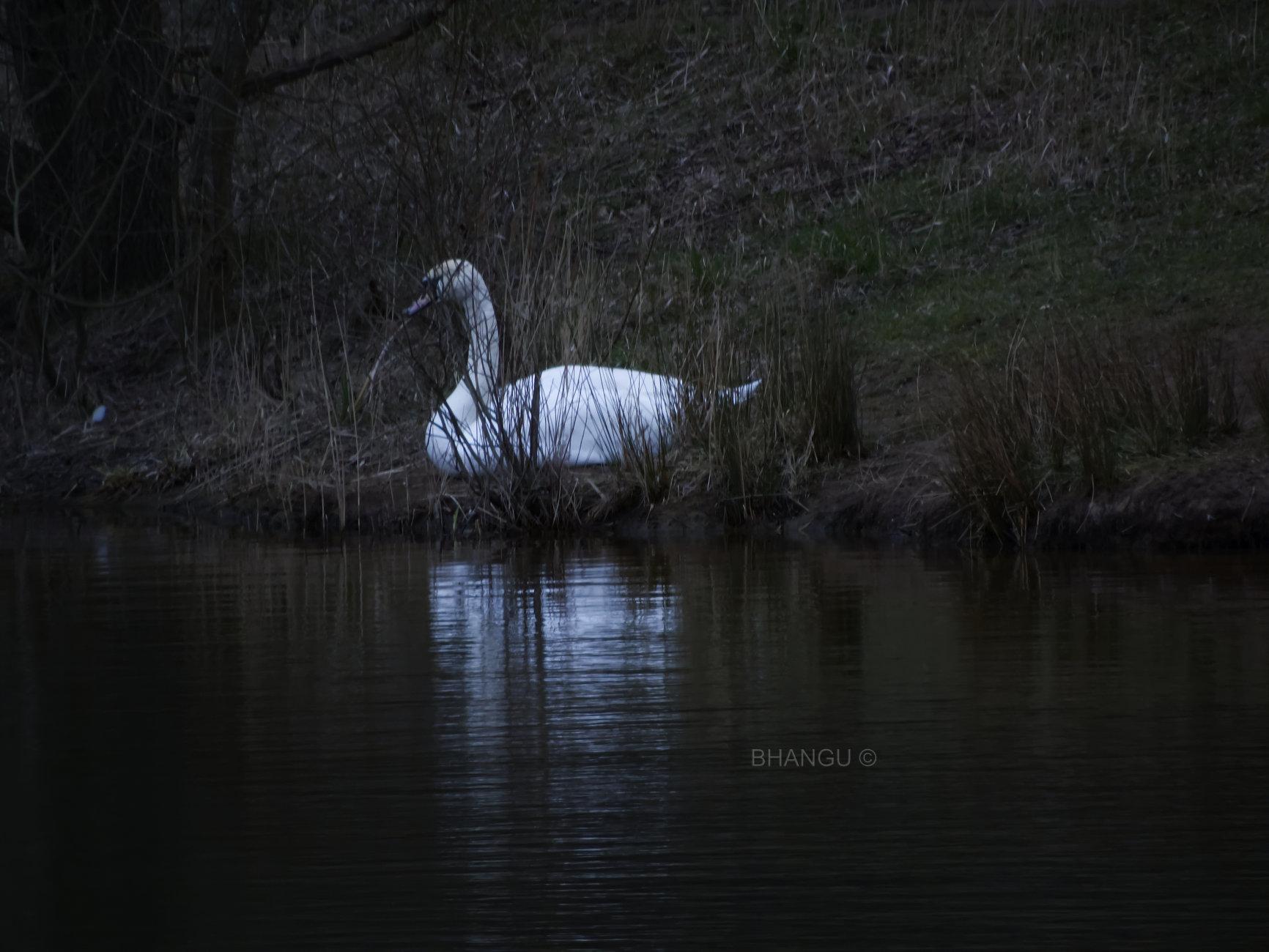 Sun bathing swan!