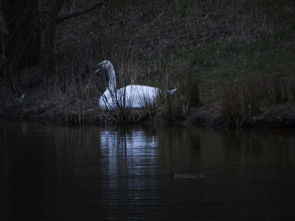 Sun bathing swan! by Jat_Riski