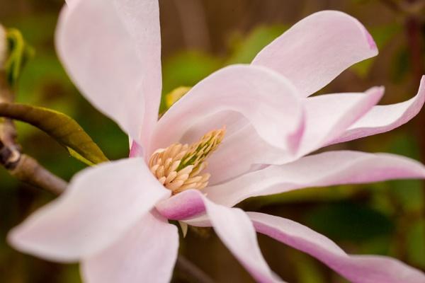 Magnolia by JackAllTog