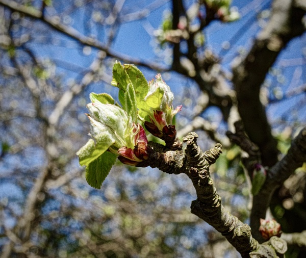 Apple buds by nclark