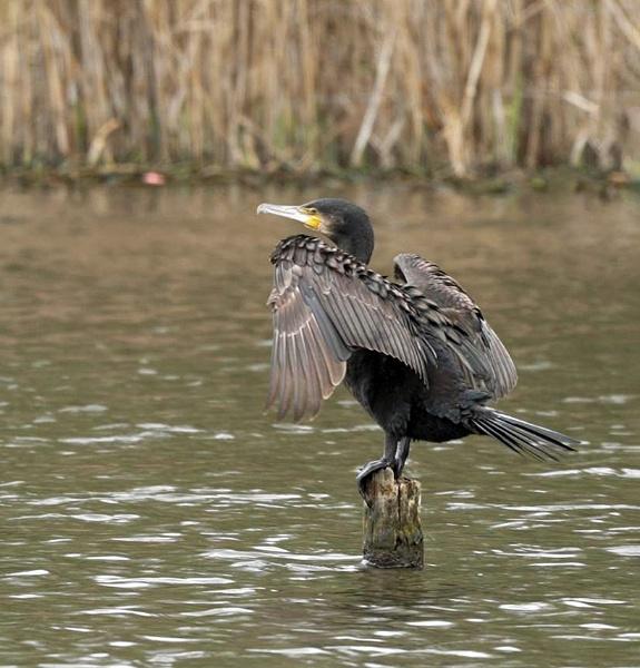 Cormorant by AlanWillis