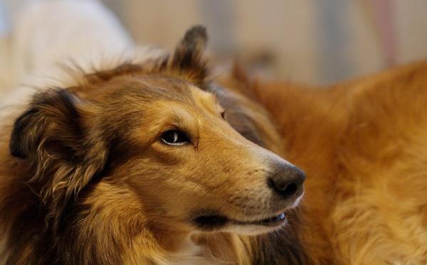 Lassie by AlanWillis