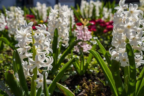 Spring flowers blooming in a flowerbed in East Grinstead by Phil_Bird
