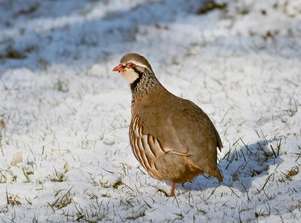 Red-Legged Partridge by jasonrwl