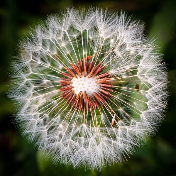 Dandelion by chavender