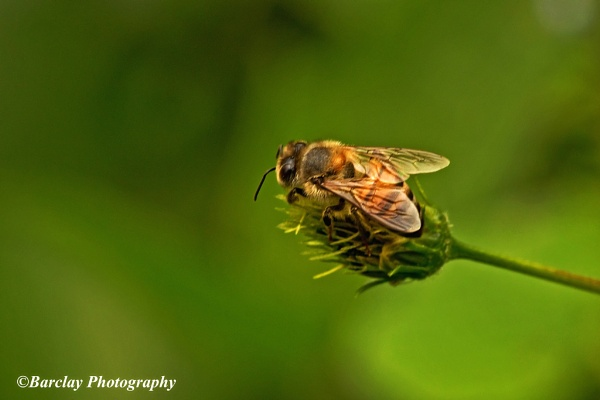Busy bee by fatfranksfolley