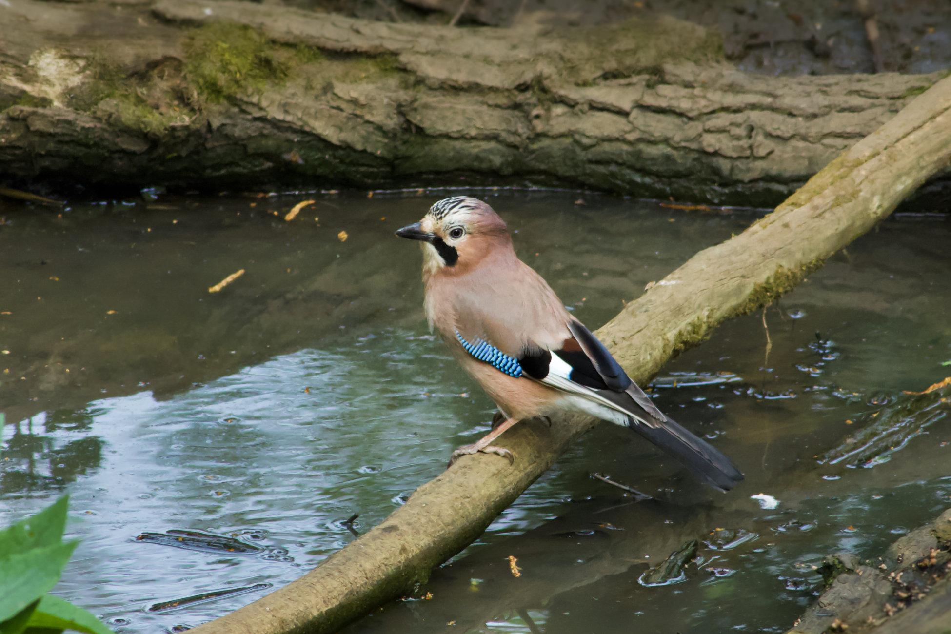 Jay by a pond