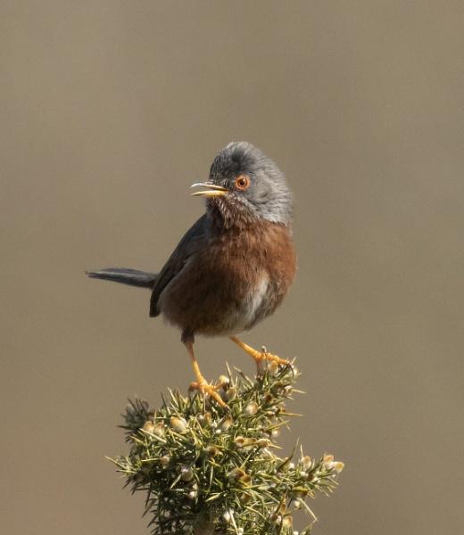Male Dartford Warbler by ali63