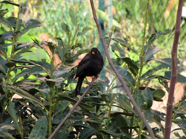 Black bird by laura1