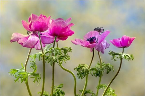Dancing Anemones by capto