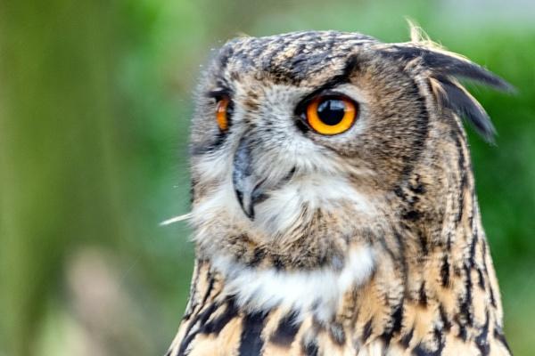 Portrait - Eagle Owl by jimobee