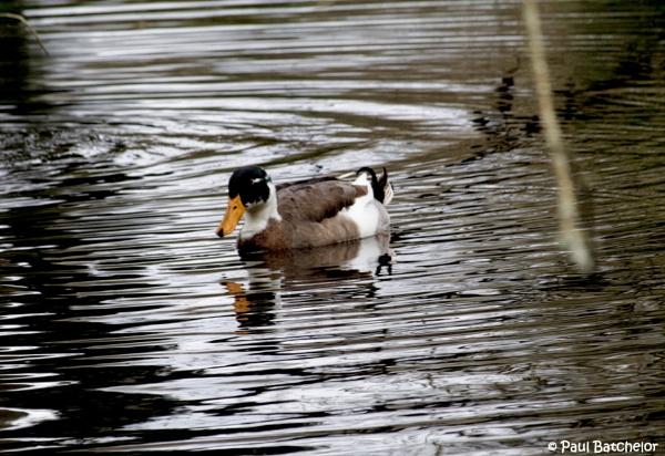 Duck on Wilks Water by paulb2433