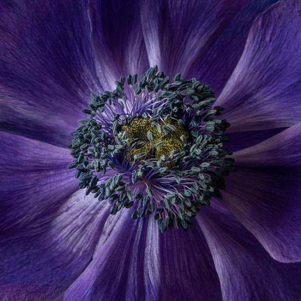 Anemone stamens by flowerpower59