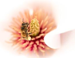 Bee in magnolia